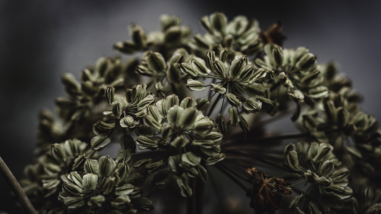Seeds of an Angelica Plant